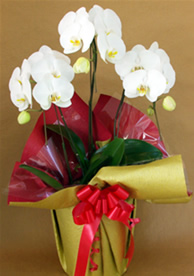 9,980円の胡蝶蘭